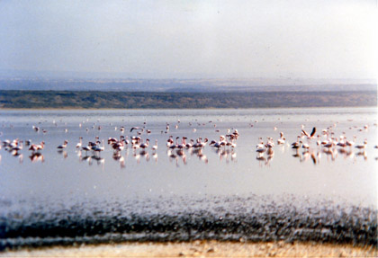 flamingos.jpg